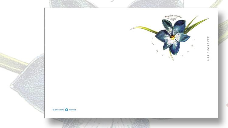 azulillo-chilean-blue-crocus-postal-card