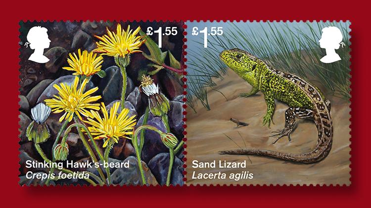 stinking-hawks-beard-sand-lizard